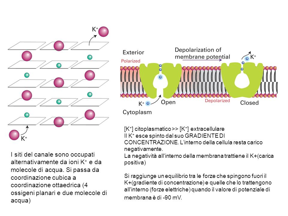 [K+] citoplasmatico >> [K+] extracellulare